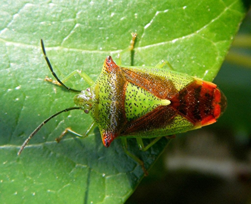 hawthorn-shield-bug-acanthosoma-haemorrhoidale-church-walk-sapcote-sp-4896-9328-taken-21-4-2009