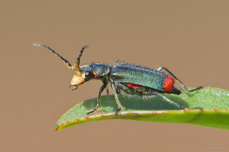 Жуки милашки (Malachiidae (= Melyridae))