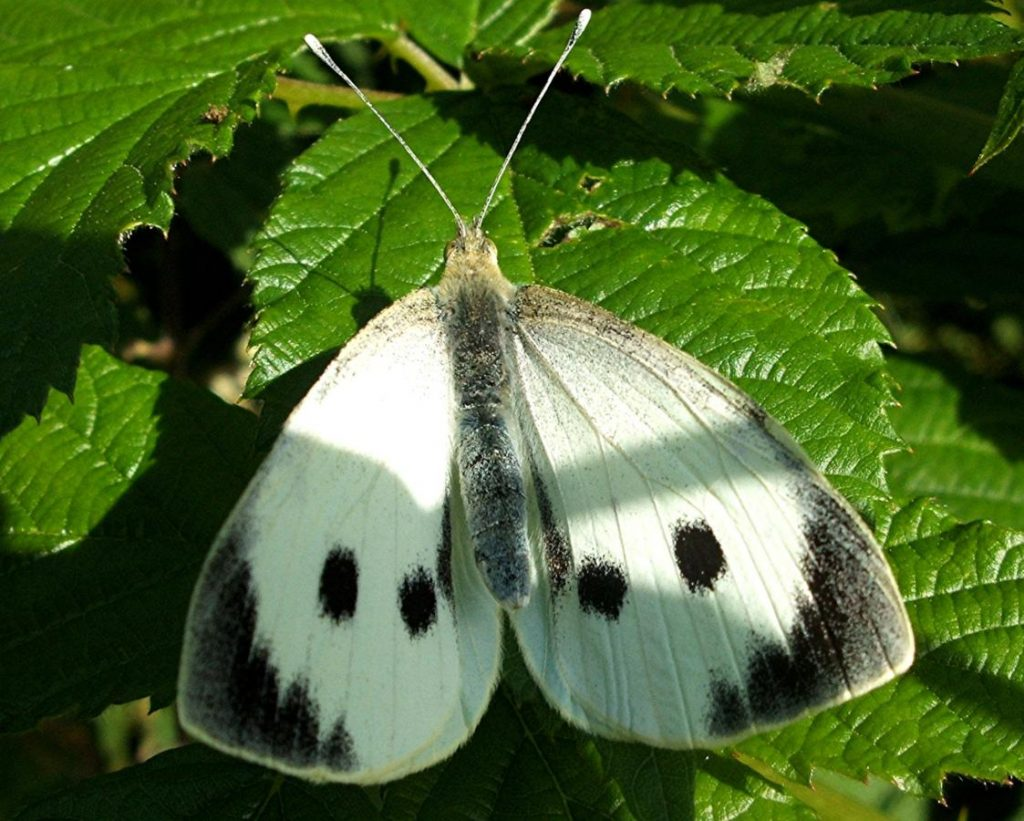 Семейство белянки (Pieridae)