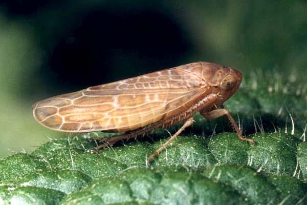 Семейство цикадки (Cicadellidae)