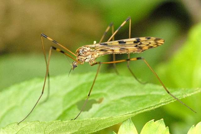 Семейство болотницы (Limoniidae)