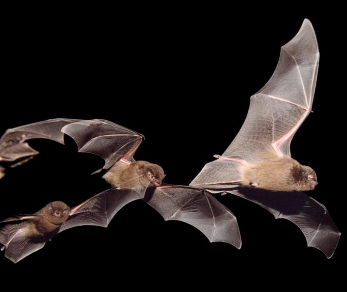 Семейство гладконосые, или кожановые (Vespertilionidae)