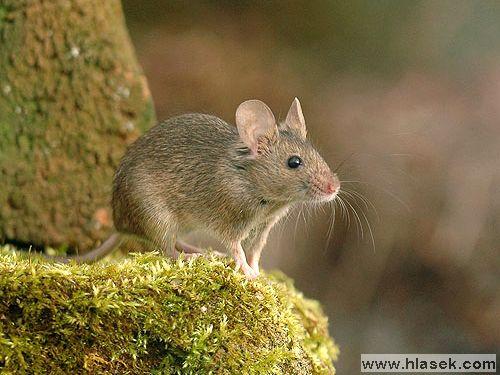 Лесные мыши (Sylvaemus)