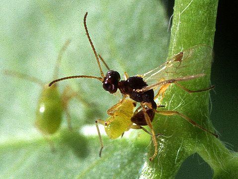Паразитические стебельчатобрюхие (Parasitica)