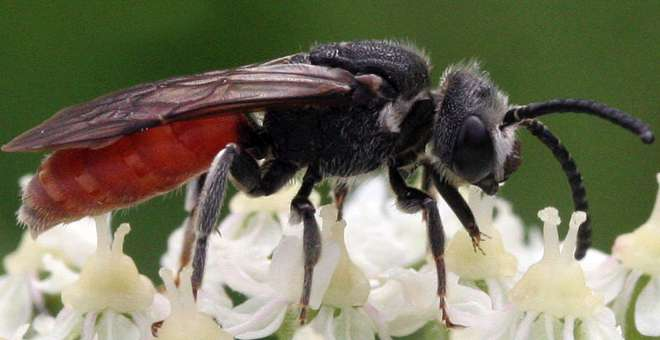 Семейство пчелы-галикты (Halictidae)
