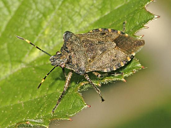 troilus-luridus-adult