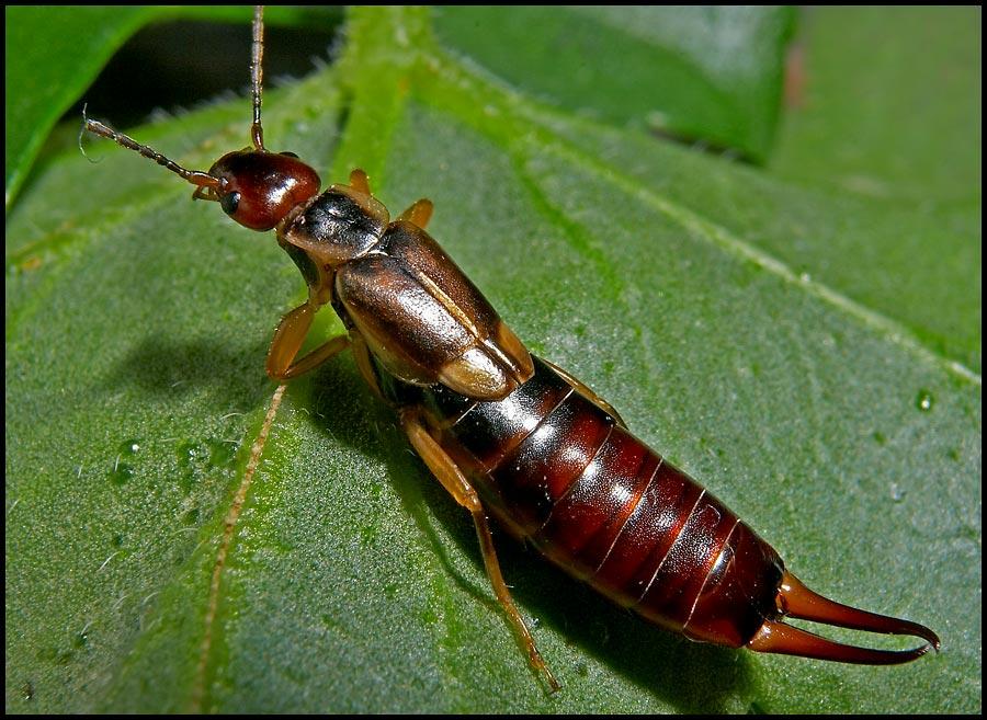 Отряд кожистокрылые, или уховертки (Dermaptera)