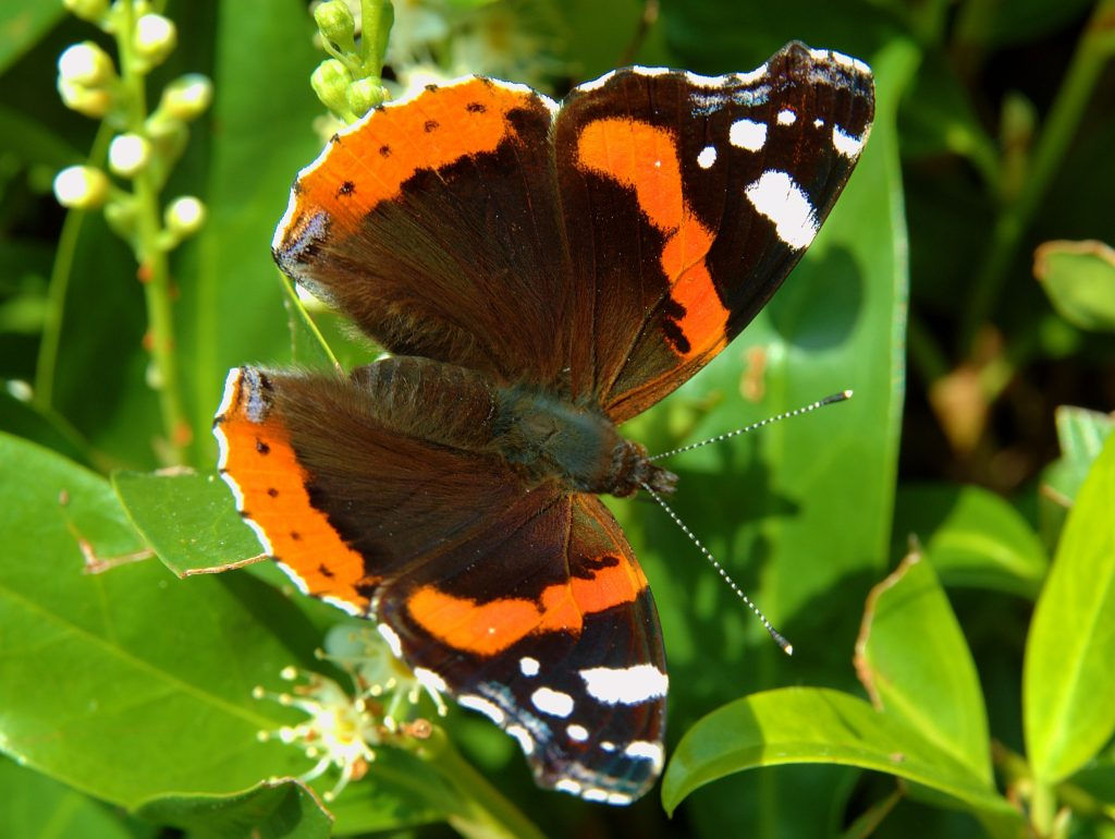 Семейство нимфалиды (Nymphalidae)