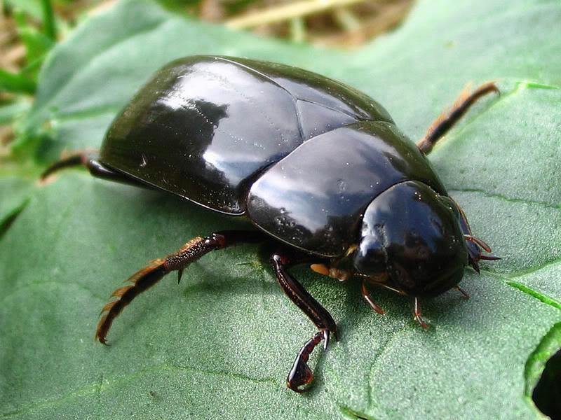 Жуки водолюбы (Hydrophilidae)