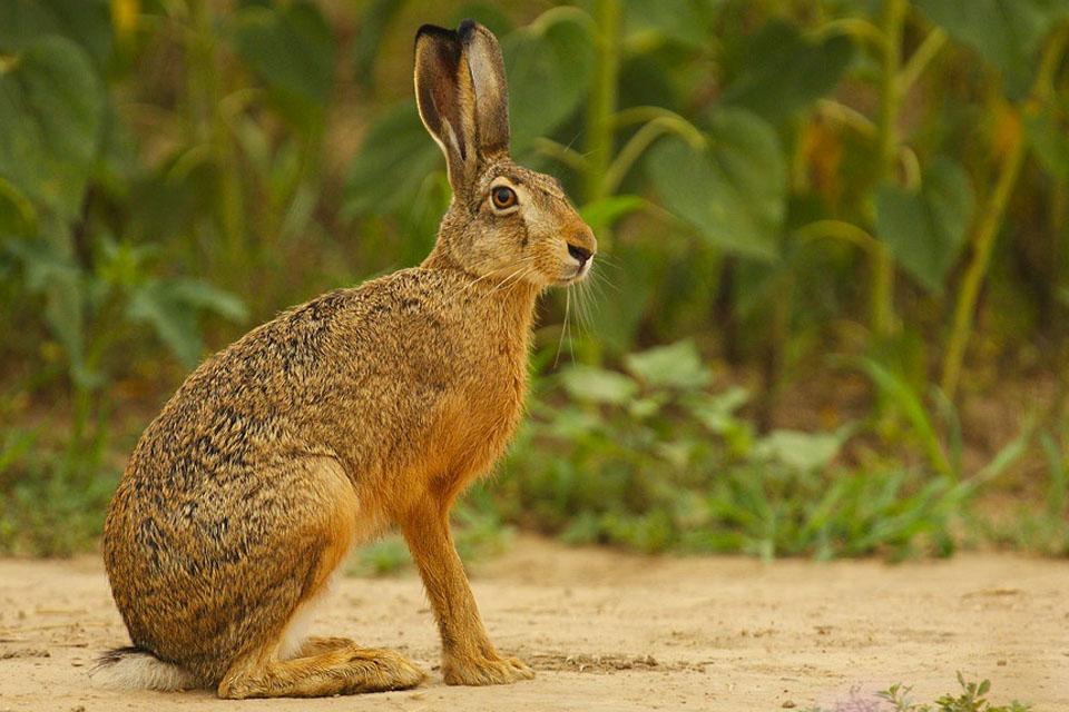 Заяц-русак (Lepus europaeus)
