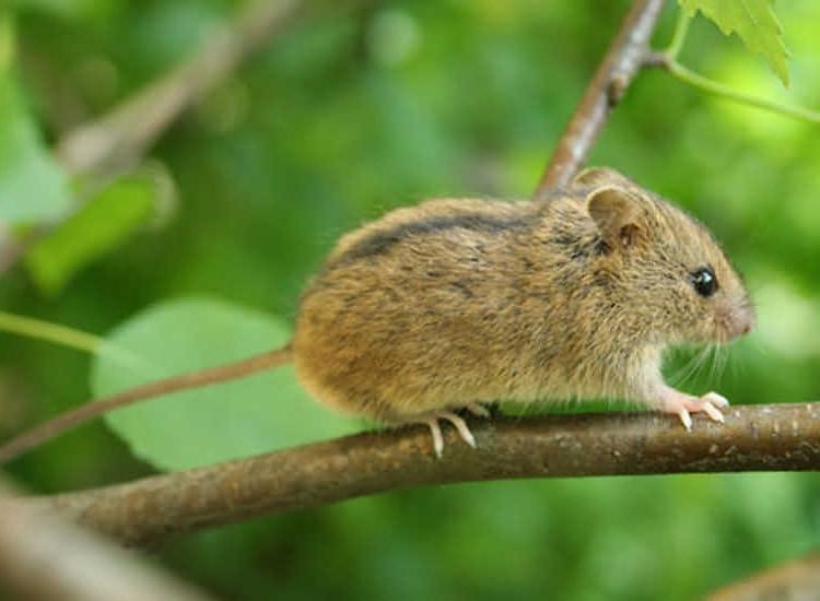 Семейство мышовки (Sminthidae)