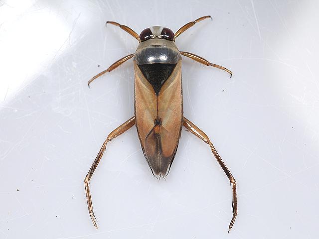 bug_notonecta_glauca_12-08-13_1