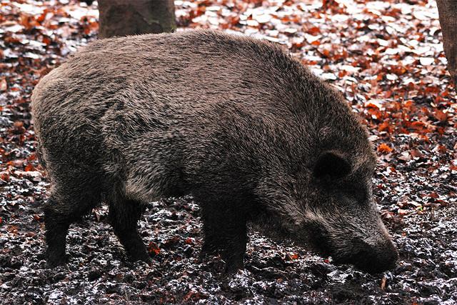 Кабан, или Дикая свинья (Sus scrofa)