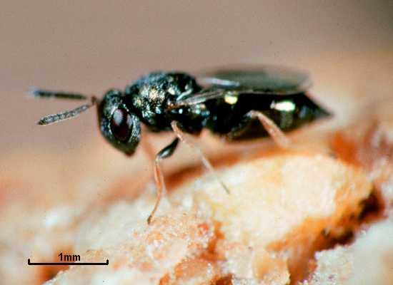 Семейство птеромалы, или птеромалиды (Pteromalidae)