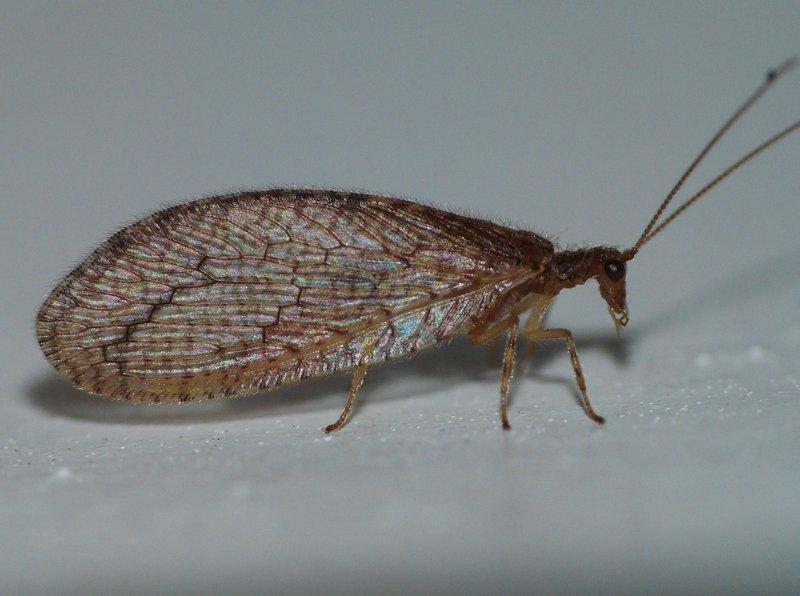 Семейство (Hemerobiidae) Гемеробы