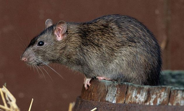 Род Крысы (Rattus)