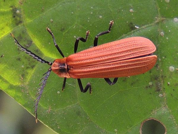 Жуки краснокрылы (Lycidae)