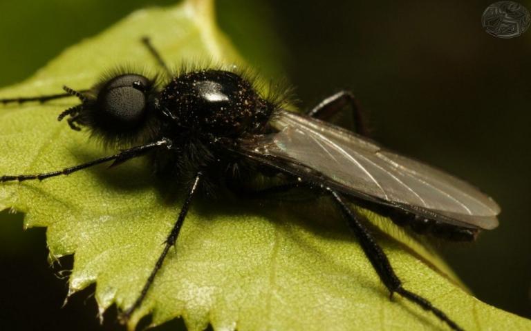 Семейство толстоножки (Bibionidae)