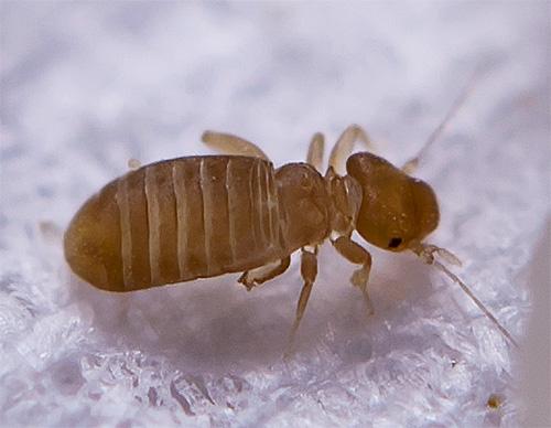 Семейство домовые сеноеды (Liposcelidae)