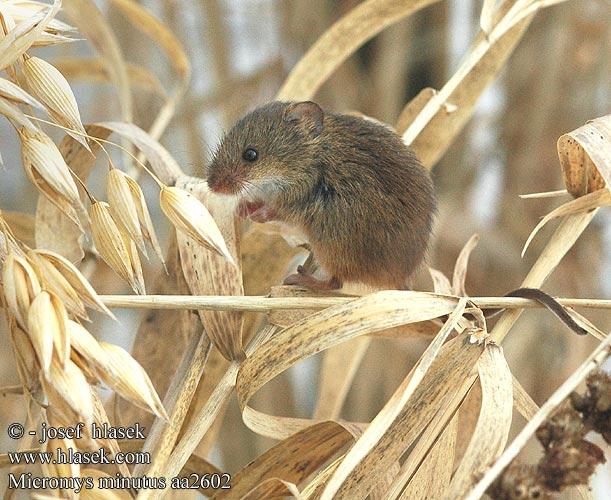 Мышь-малютка (Micromys minutus)