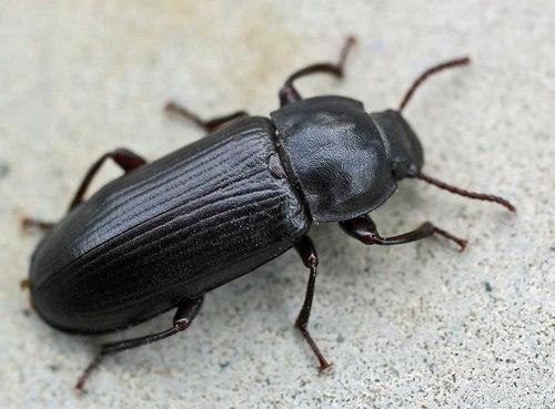 Жуки чернотелки (Tenebrionidae)