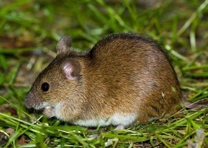 Полевая мышь (Apodemus agrarius)