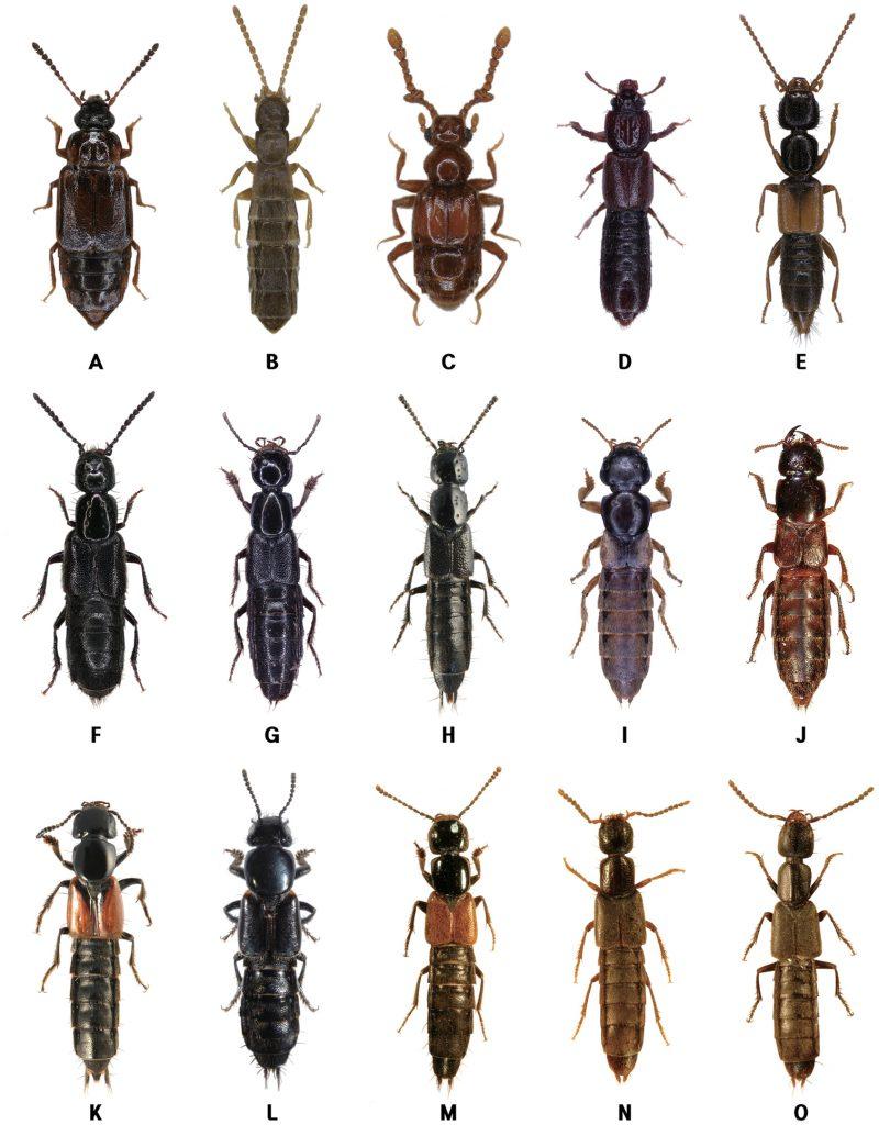 Жуки стафилины (Staphylinidae)