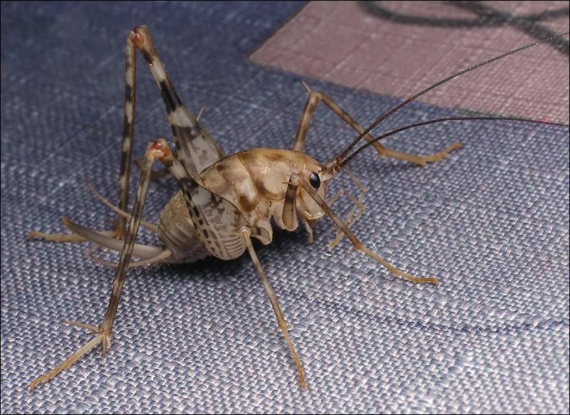 Надсемейство лжекузнечиковые (Stenopelmatoidea)