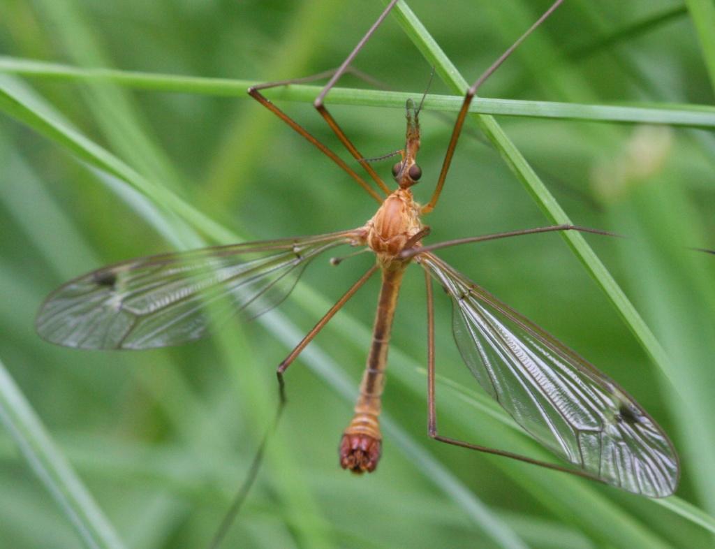 Семейство долгоножки (Tipulidae)