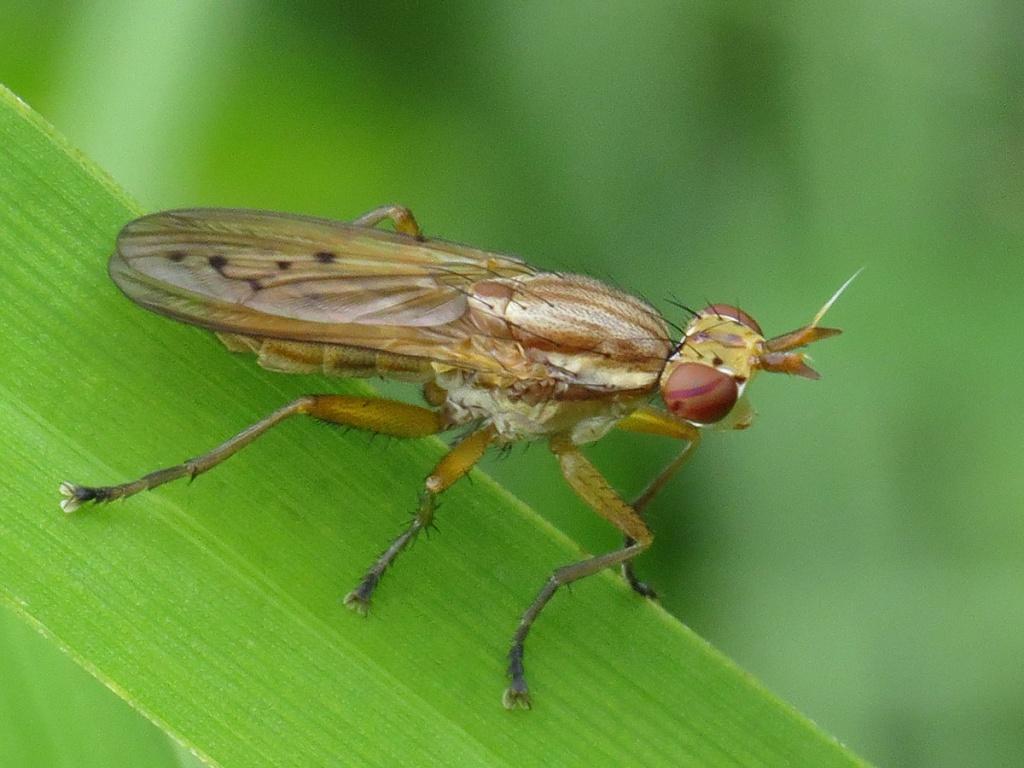 Семейство сциомизиды, или тенницы (Sciomyzidae)