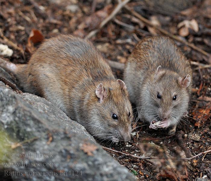 Серая, или амбарная, крыса, или пасюк (Rattus norvegicus)
