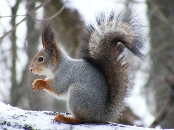 squirrel_ordinary6