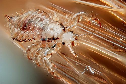 Семейство настоящие вши (Pediculidae)