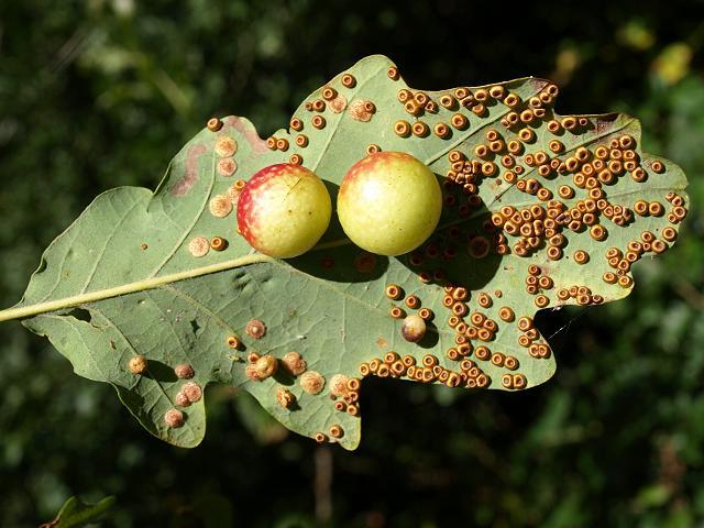 Орехотворковые (Cynipoidea)