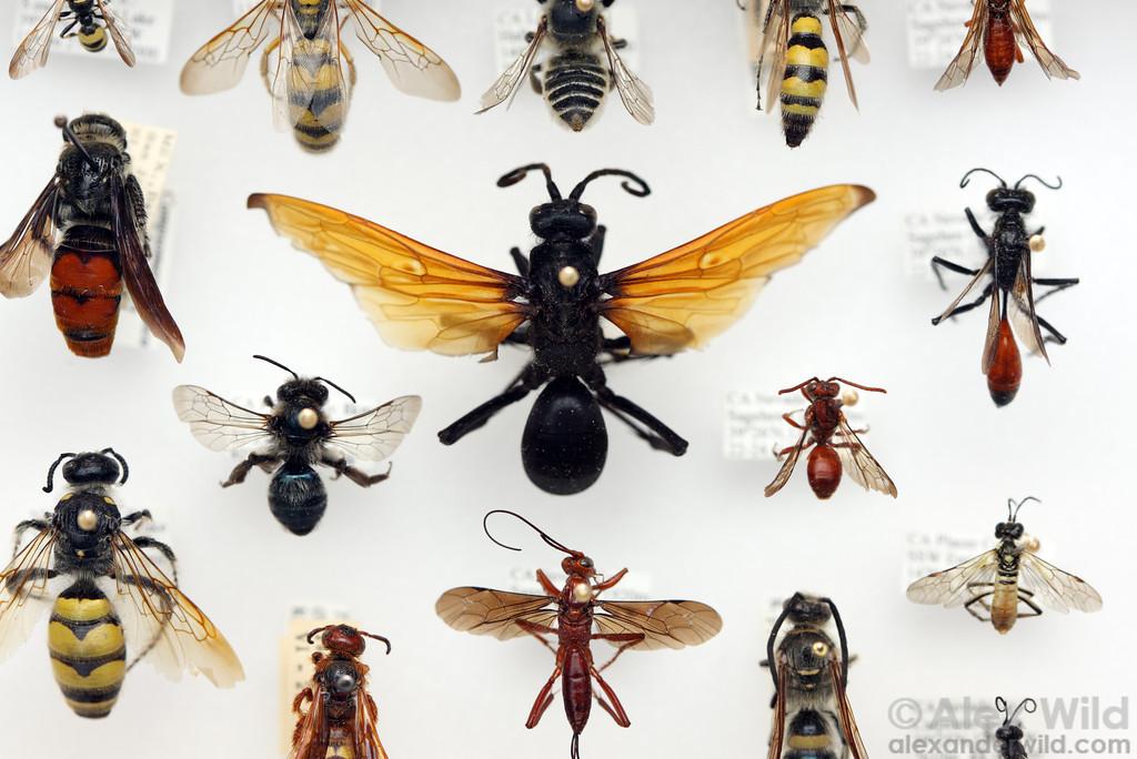 Отряд перепончатокрылые (Hymenoptera)