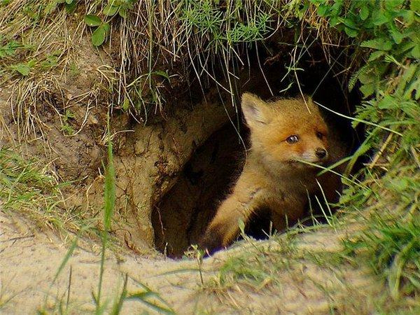 Норы и убежища лисицы