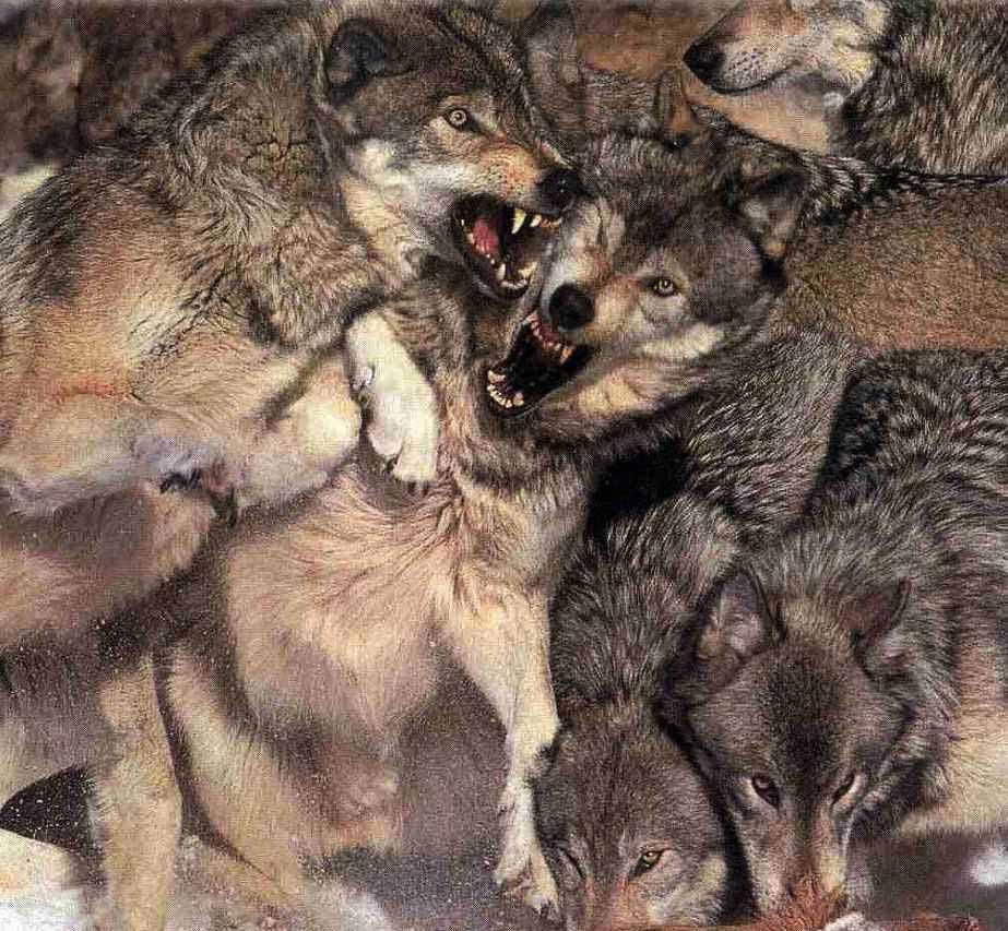 Враги, болезни, паразиты, смертность волка