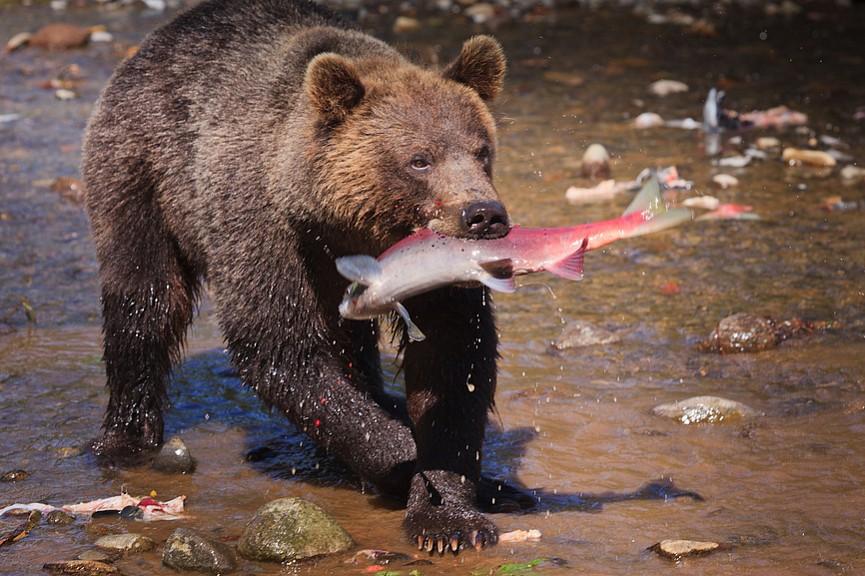 Сезонные миграции бурого медведя