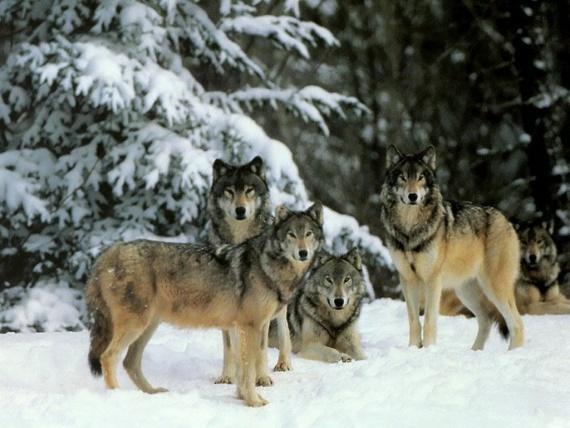 Участок обитания волка