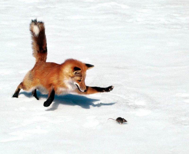 Сезонные миграции лисицы