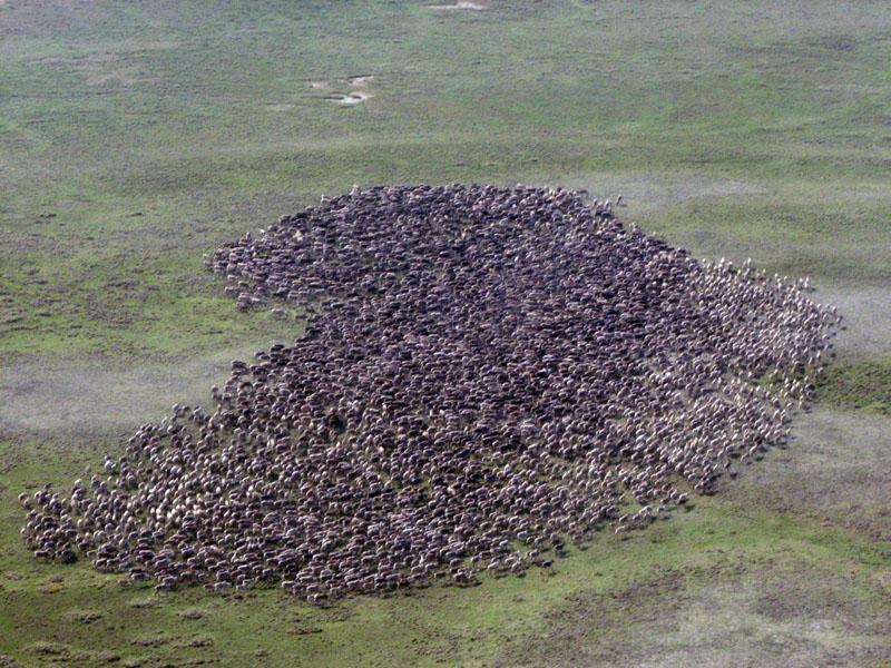 Сезонные миграции северного оленя