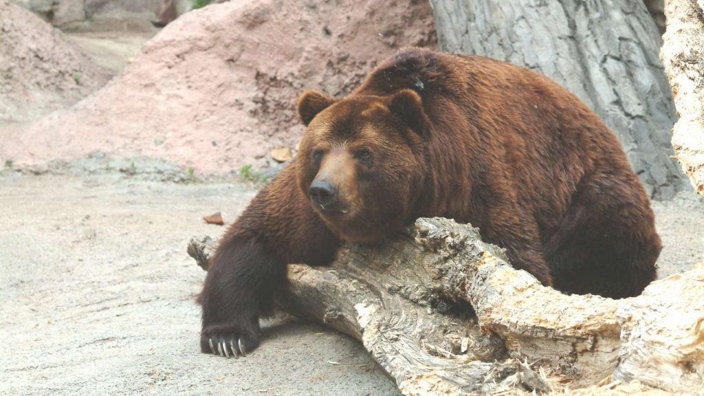 Восточно-сибирский медведь