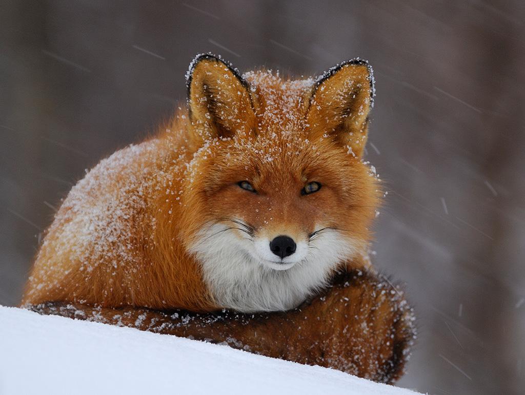 Места обитания лисы