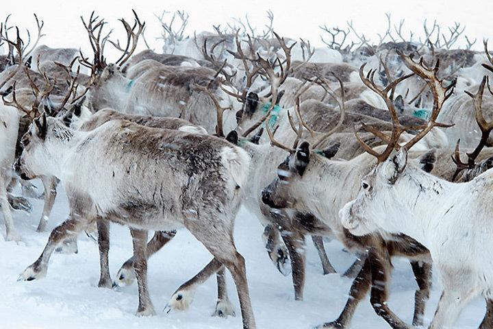 Численность северных оленей