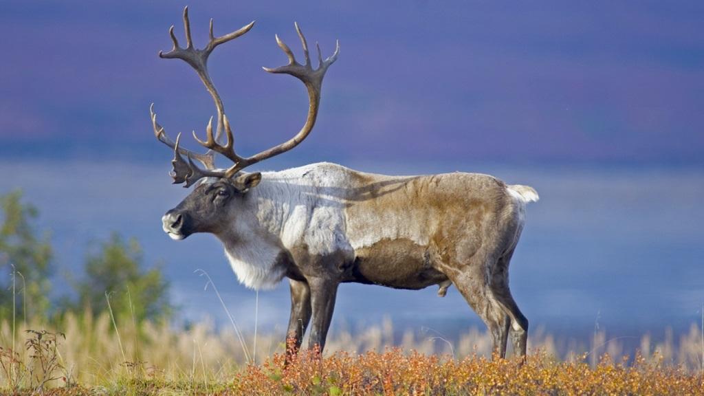 Участок обитания северного оленя