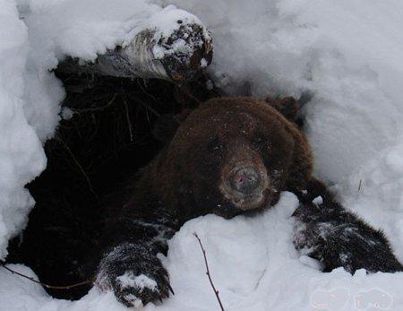 Лежки и берлоги бурого медведя