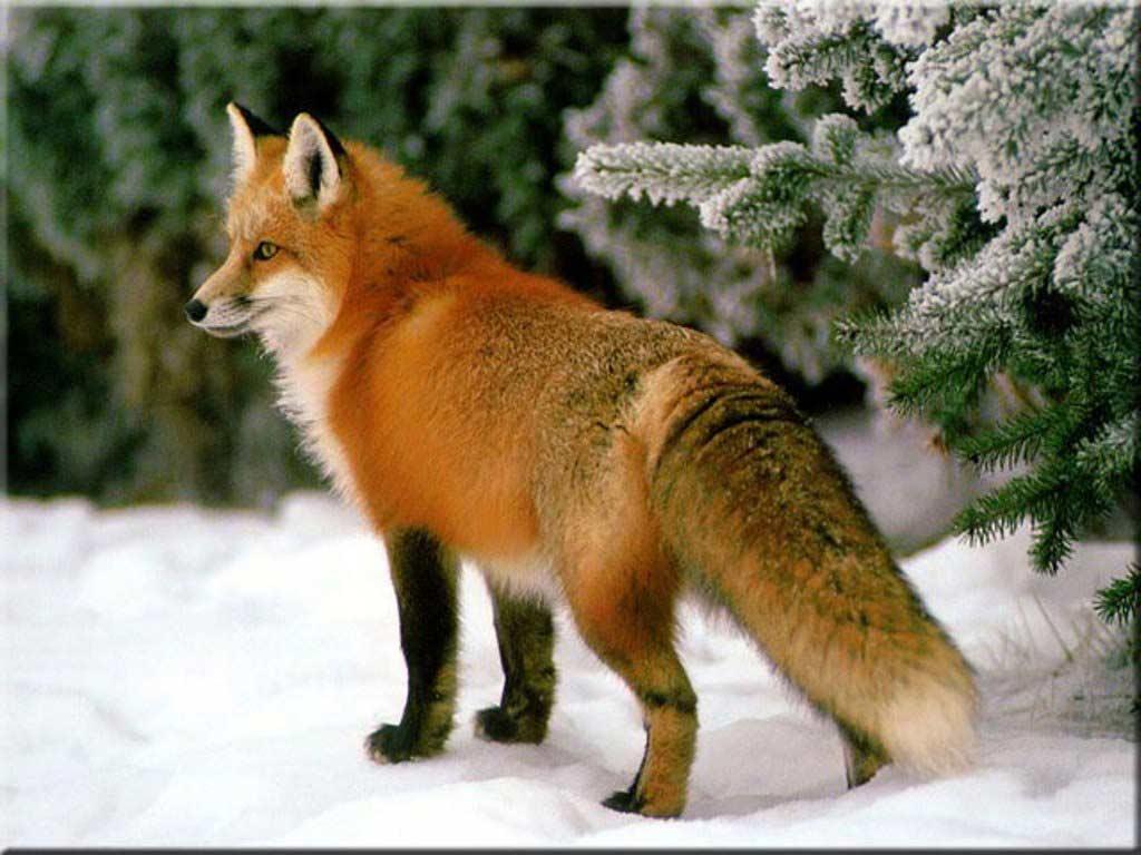 Суточная активность и поведение лисицы