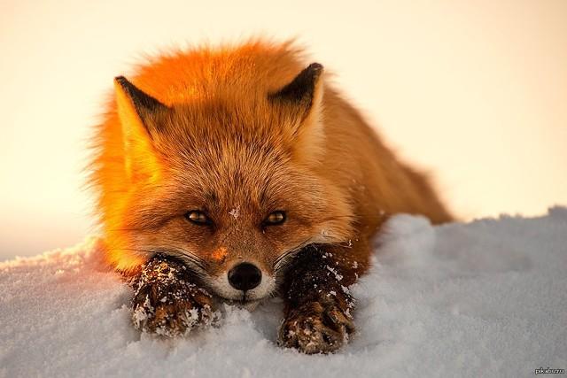 Враги, болезни, паразиты и смертность лисы