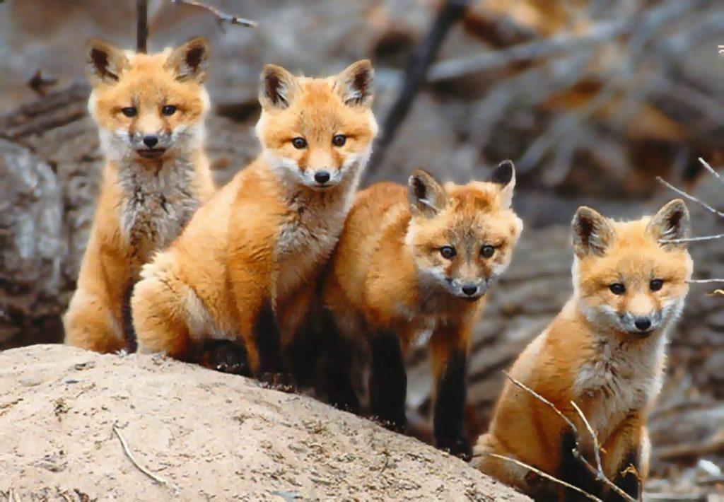 Размножение лисы