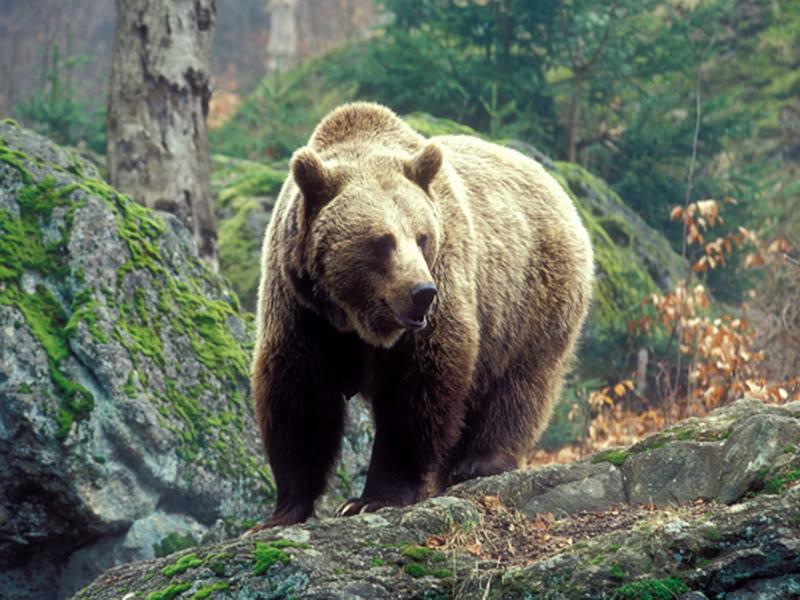 Кавказский медведь